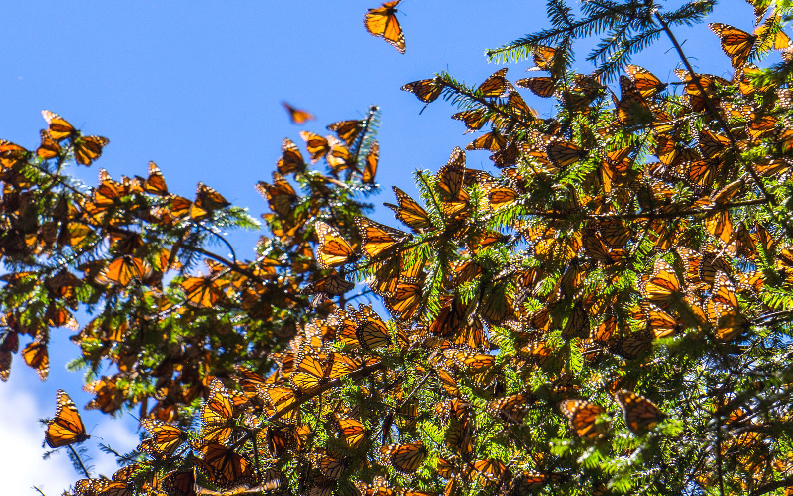 Even More Monarchs Are Heading To Mexico This Year Than