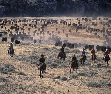 cowboys herding cattle at Hideout at Flitner Ranch, Shell, WY