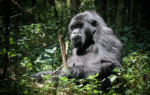 Young male gorilla
