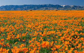 Flower field in Antelope Valley, California