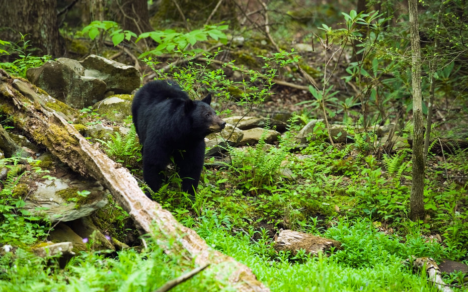 American Black Bear In The Lush Spring Forest In The Great Smoky Mountains National Park