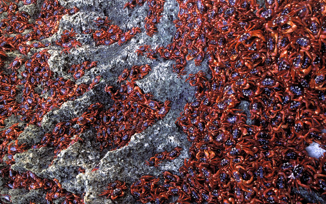 Christmas Island red crabs.