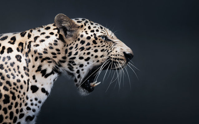 close up of snarling leopard