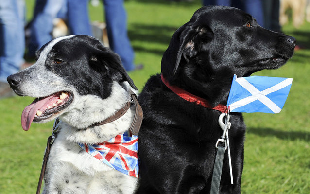 Dogs Asbo (L), wearing a union flag and Millie, wearing a Scottish flag are pictured at the 150th Birnam Highland Games in Perthshire, Scotland, on August 30, 2014. The Birnam Highland Games are a traditional Scottish Highland Games and have been held ann