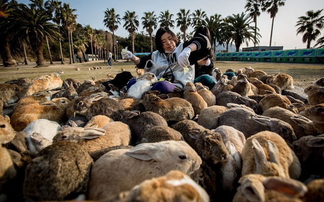 TAKEHARA, JAPAN - FEBRUARY 24:  Two tourists sit and feed hundreds of rabbits  at Okunoshima Island on February 24, 2014 in Takehara, Japan. Okunoshima is a small island located in the Inland Sea of Japan in Hiroshima Prefecture. The Island often called U