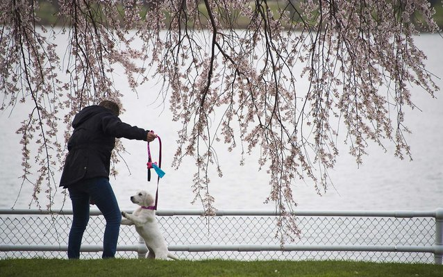 dog under a blooming cherry blossom tree
