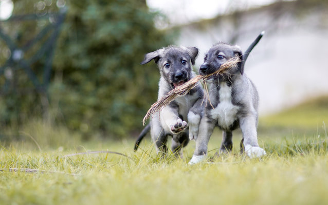 Identical Twin Puppies in South Africa