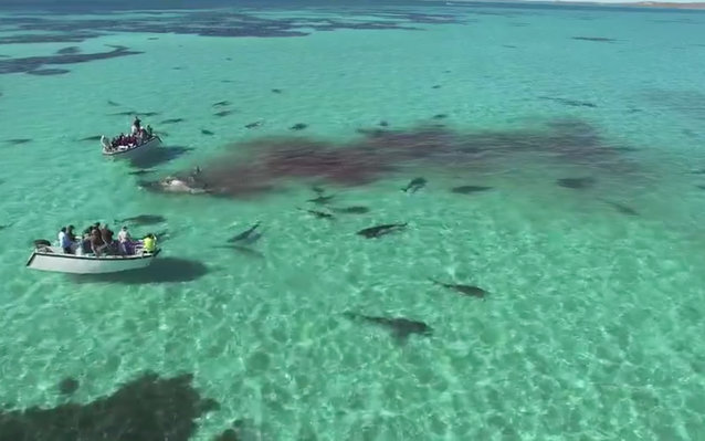 Sharks feeding and surrounding tourists in a boat
