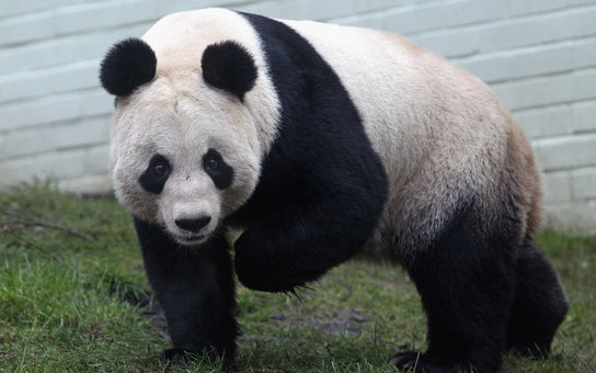 EDINBURGH, SCOTLAND - DECEMBER 16:  Tian Tian the female panda bear looks out from her enclosure as members of the public view her for the first time at Edinburgh Zoo on December 16, 2011 in Edinburgh, Scotland. The eight-year-old pair of giant pandas arr