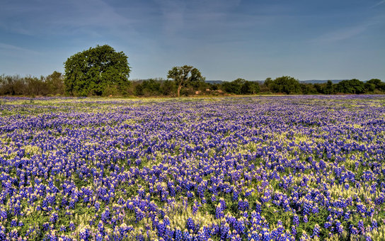 blooming flower field in Texas Hill Country Bluebonnet Tour