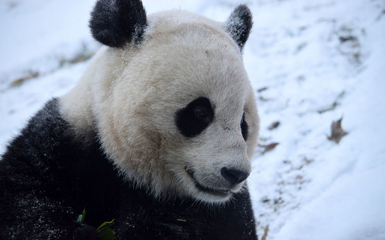 National Zoo Pandas Historic Winter Storm Jonas